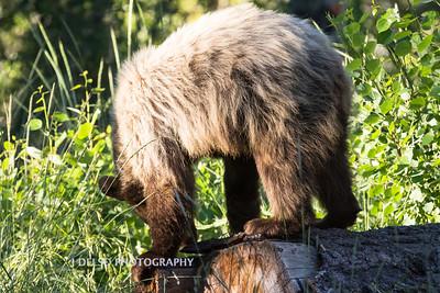 Tahoe Spirit Bear 2017-7781