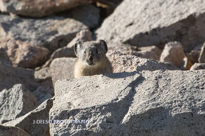 Pika Mokelomne Wilderness 2017-2