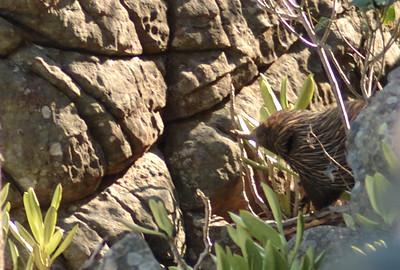 Echidna, Tachyglossus aculeatus. Litchfield National Park