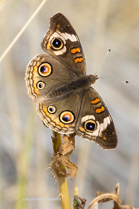 Common Buckeye Fall 2017-1