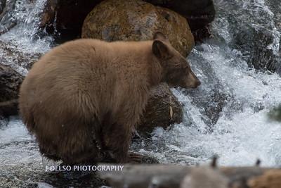 Tahoe Fall Bears 2017-8815
