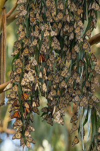 Monarch Butterflys Fall 2017-0547