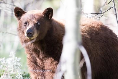 Tahoe Bear Spring 2017-10