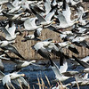 Snow Geese on Takeoff