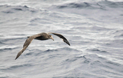 "The Southern Giant Petrel (Macronectes giganteus) is distinguished from the albatross family by its hump and more obvious ""tubenose"" beak from which it excretes salt, after drinking sea water. The colour can vary from dark brown to almost white."