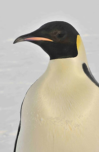 This is the typical colouring of the Emperor penguin, pale golden breast, darker yellow ear patch, with an orange bill and a pink or lilac stripe on the lower jaw. In bright sunshine, the golden colour glows, showing the sea water beading on the well groomed oily feathers.