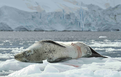 The leopard seal (Hydrurga leptonyx) is the main predator of penguins and other seals, but is not the top of the food chain. This leopard is lying out on a flow, nursing his/her wounds after being attacked, most likely by orca.