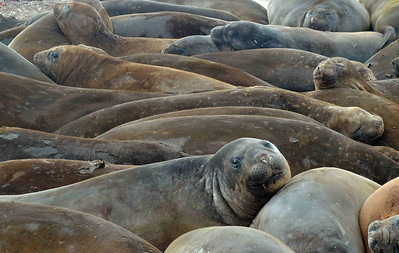 Southern Elephant Seals (Mirounga leonina) haul out of the ocean in December and January to moult, returning to the water after 21 days or so. Being social animals, they lie around in wallows making a good deal of noise and smell during their time ashore.