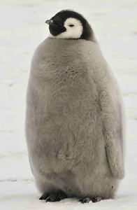 This Emperor chick is about half grown, and has been left in a crèche by his parents. Emperors lay their single egg in the middle of winter, and incubate it on the feet of the father, while the mother goes back out to sea. Emperor penguin colonies can be as far as 80 kilometres from the sea in winter.