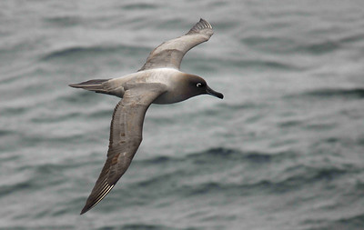 The Light-Mantled Sooty Albatross (Phoebetria palpebrata) has an endearing appearance, enhanced by its white eye patch.