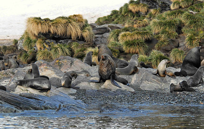 The Antarctic Fur Seal (Arctocephalus gazella) was decimated by the sealing trade in the early 19th century, but has rebounded to a current population of perhaps 4 million. They breed on sub-Antarctic islands in November –December, living in colonies with dominant males acquiring harems of breeding females with their pups.