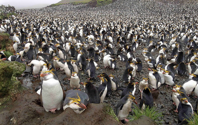 Royal Penguins (Eudyptes schlegeii) are found on Macquarie Island and nowhere else. There are about 50 colonies there, scattered around the coast and up to 200 metres inland. They are quite endearing as they look like a smiling child with badly smeared lipstick.