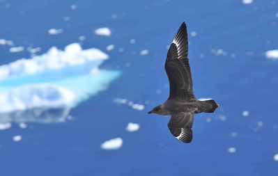 The South Polar Skua (Catharacta maccormicki) is often seen around penguin colonies, where it is a predator and scavenger, but its main diet is probably fish out at sea.