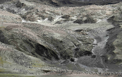 """This Chinstrap Penguin (Pygocelis antarctica) colony on Baily Head, Deception Island has been described as the """"Hollywood Bowl of Penguins"""". It lies in a large natural amphitheatre, with various melt streams running through it and contains about 100,000 breeding pairs of the species."""