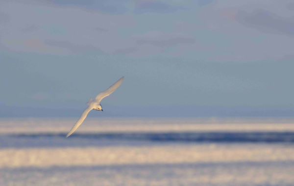 The Snow Petrel (Pagodroma nivea) is one of the most beautiful birds of the Antarctic. It is pure white, apart from a black bill and legs. It nests in small colonies on cliffs and steep slopes, and can range up to 300 kilometres inland. It is one of the true Antarctic birds.