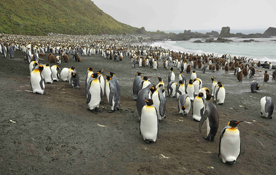 King Penguins (Aptenodytes patagonicus) number about 2-3 million worldwide, and mass in large colonies on the sub-Antarcitc island, including Macquarie Island, South Georgia and other islands near the Antarctic Convergence.