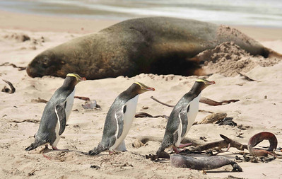 The Yellow Eyed Penguin (Megadyptes antipodes) is the world's rarest, with a population of about 2000 breeding pairs, living mainly on the sub-Antarctic islands of New Zealand. These three are sneaking past a Hooker Sea-lion (Phocarctos hookeri) on a beach at Enderby Island.