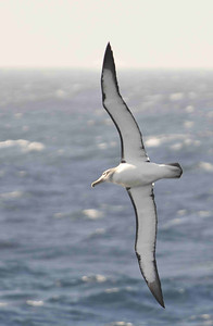Salvin's Albatross (Thalassarche salvini) is one of many albatross species in decline for various reason, including longline fishing, ocean warming and extreme weather events. Its wingspan is about 55-60 centimetres.