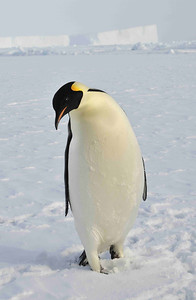 Emperor Penguins (Aptenodytes forsteri) are the largest of the penguins, standing up to 1.3 metres tall. Their colonies are scattered around the edge of the continent, more having been discovered recently by satellite photography. They are true Antarctic penguins, breeding in the winter.