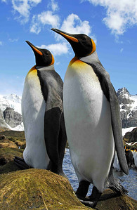 These two King Penguins (Aptenodytes patagonicus) display the brighter colours which distinguish them from the larger Emperors. Kings are sub-Antarctic and are found in large populations on South Georgia, Macquarie Island and other sub-Antarctic islands.