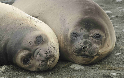 Elephant Seal pups are born in September-October after a gestation of 49-50 weeks. They are weaned after 3-4 weeks (!) and stay ashore for a further 5-7 weeks before heading out into the ocean.
