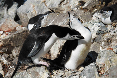 The aptly named and easily identified Chinstrap penguins (Pygoscelis antarctica) live in colonies on both sub-Antarctic islands and the mainland of Antarctica itself. They pair for life, and produce two eggs each season. The estimated breeding population is about 7.5 million pairs.