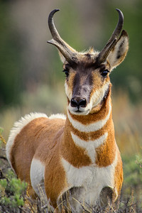 Pronghorn Photography