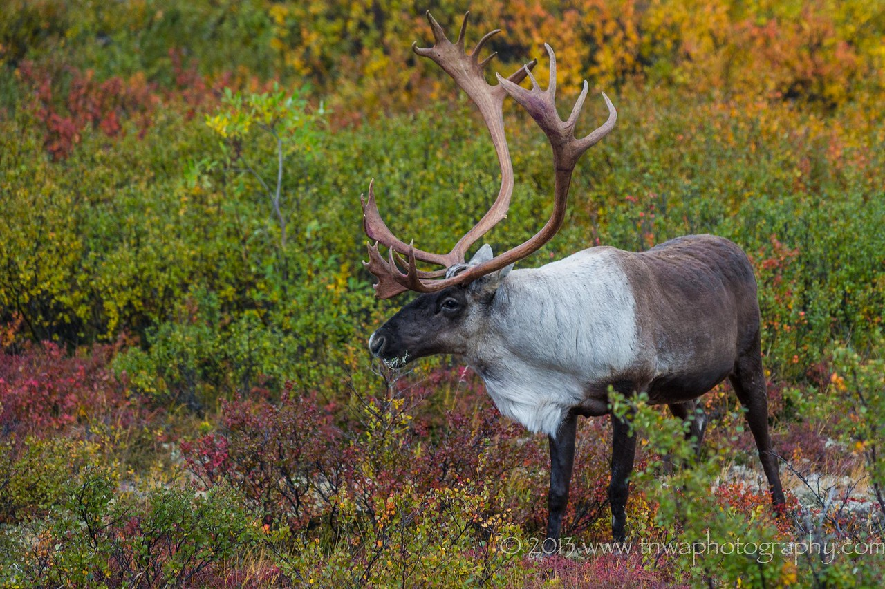 Caribou in Fall Tundra Denali National Park Alaska © 2013