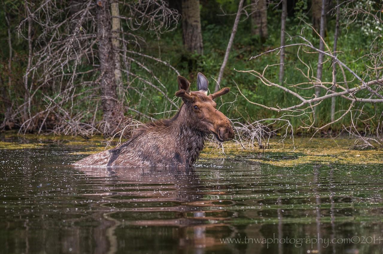 Moose Dips in Pond Alberta, Canada © 2014