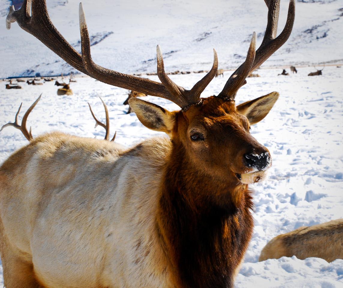 Snowy Nosed Elk National Elk Refuge Jackson, Wyoming © 2010