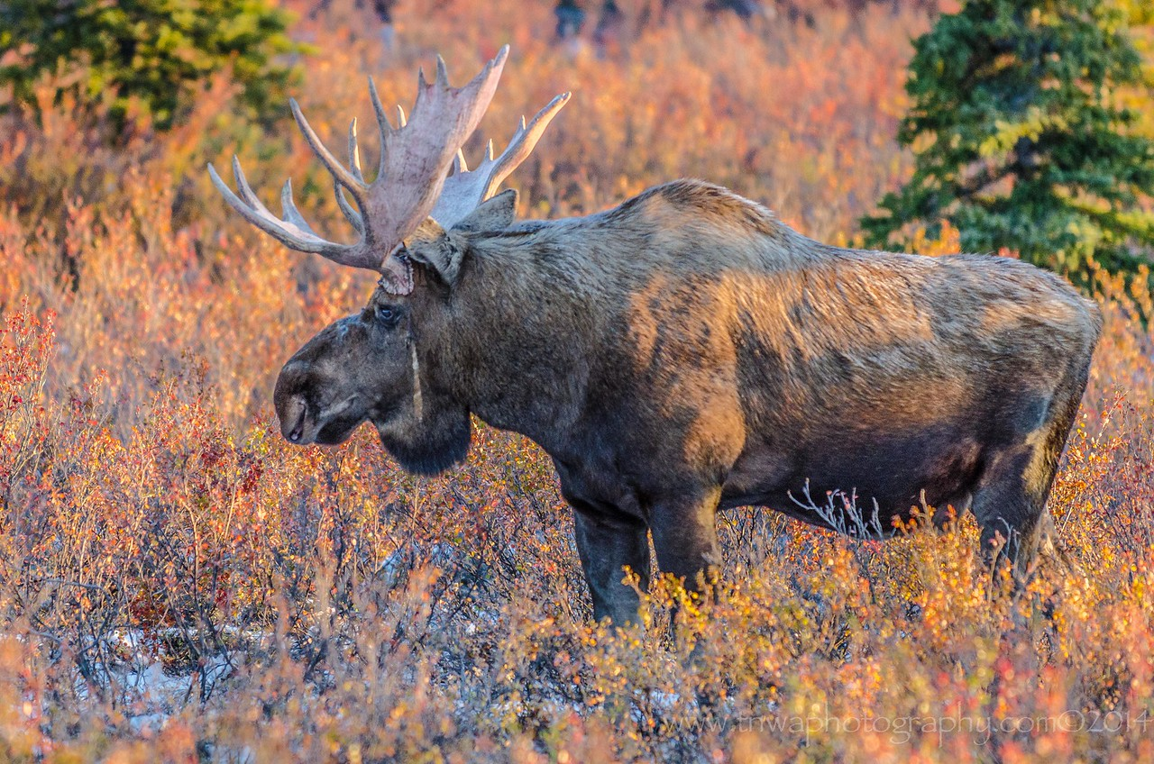Bull Moose Waiting in the Wings Denali National Park Alaska © 2014