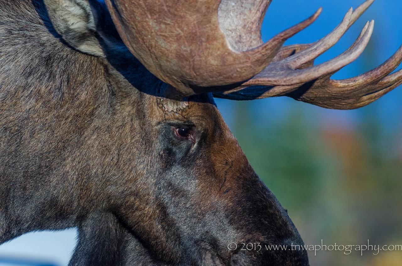 Moose Close Up Denali National Park Alaska © 2013