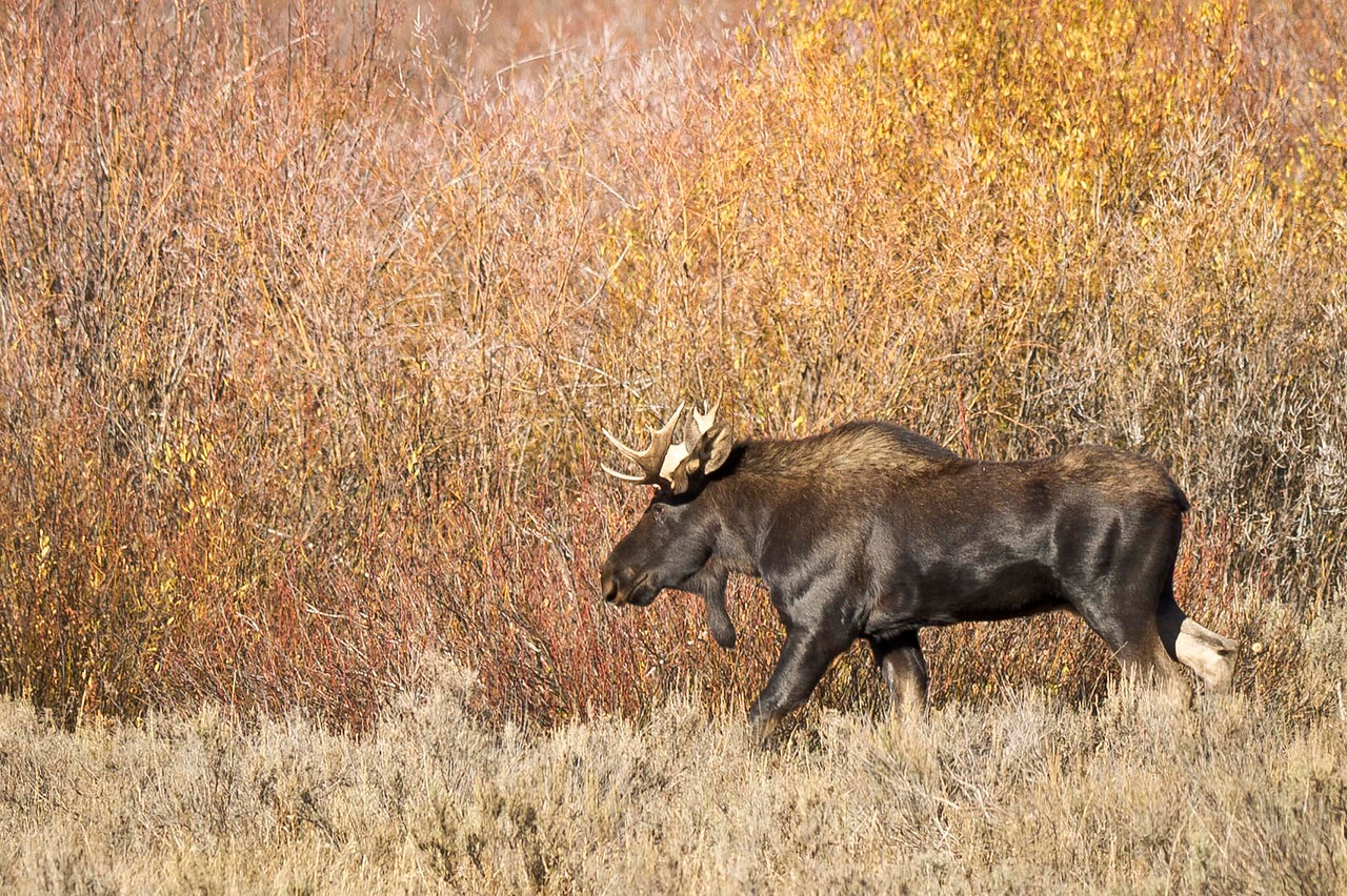 Bull Moose Grand Teton National Park Wyoming © 2012