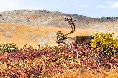 Caribou Autumn Profile Denali National Park & Preserve Alaska © 2013
