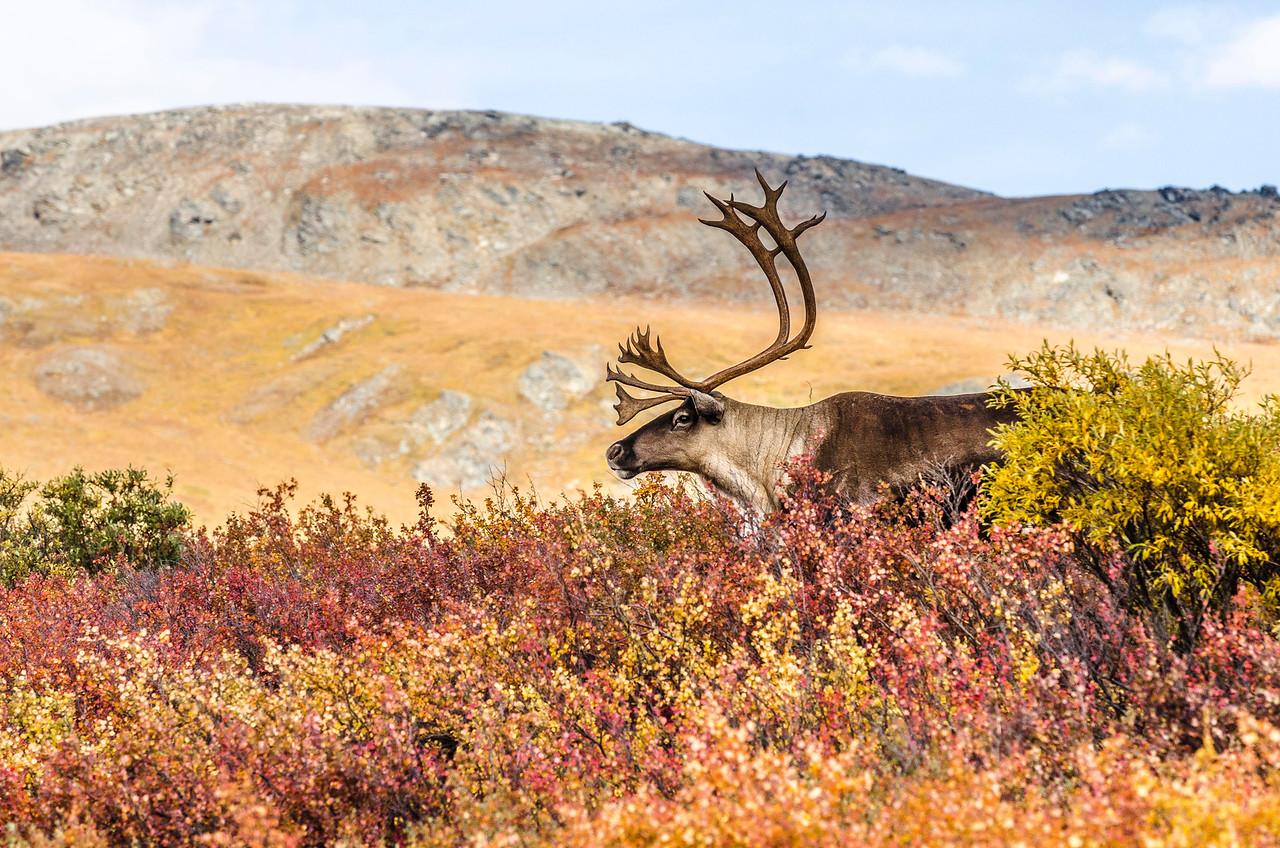 Caribou Autumn Profile Denali National Park & Preserve Alaska © 2013