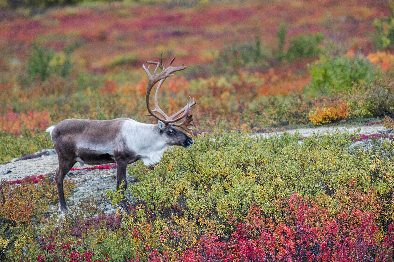 Bull Caribou Grazing on the Fall Tundra Denali National Park Alaska © 2013