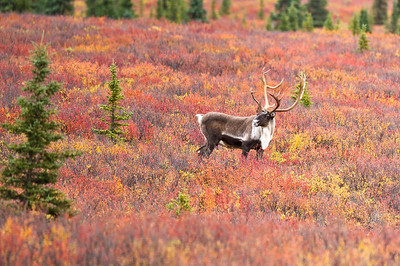 Caribou in the Autumn Colors of Denali Denali National Park Alaska © 2012