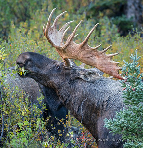 Bull Moose Antlers ... Ready for Action Denali National Park Alaska © 2013