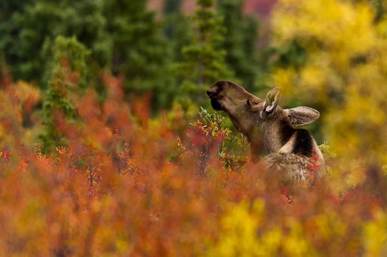 Moose in the Midst of Fall Denali National Park Alaska © 2012