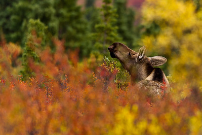 Moose in the Midst of Fall Denali National Park Alaska © 2012