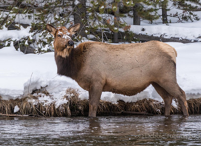 Female Elk Check For Danger Yellowstone National Park Wyoming © 2014