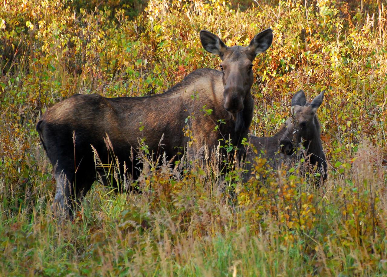 Mama Moose & Baby Moose Chena Hot Springs, Alaska © 2008