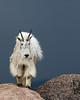 Mountain Goat / Oreamnos americanus