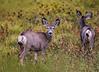 Baby mule deer