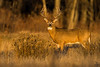 White tail deer in sunset glow