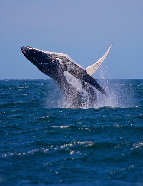 Whale at Jervis Bay