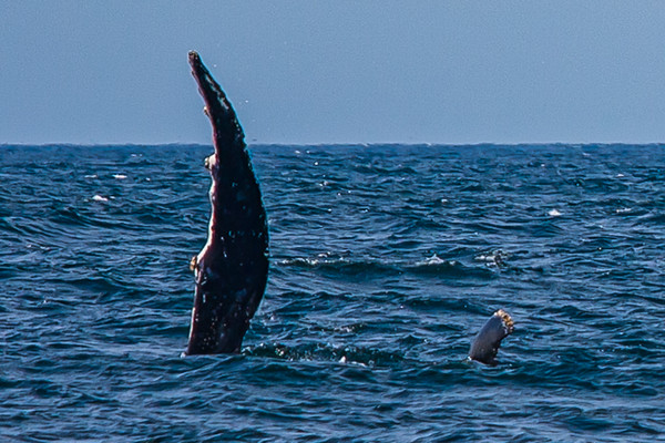 Whale at Jervis Bay with baby