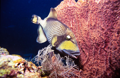 Titan triggerfish.  This triggerfish voraciously defended its nest which included attacking me.  Sipadan Island,  Celebes Sea,  Malaysia.