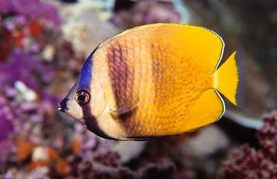 Some kind of Butterflyfish.  Sipadan Island,  Celebes Sea,  Malaysia.