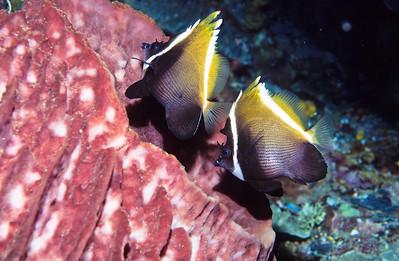Bumphead bannerfish.  Sipadan Island,  Celebes Sea,  Malaysia.
